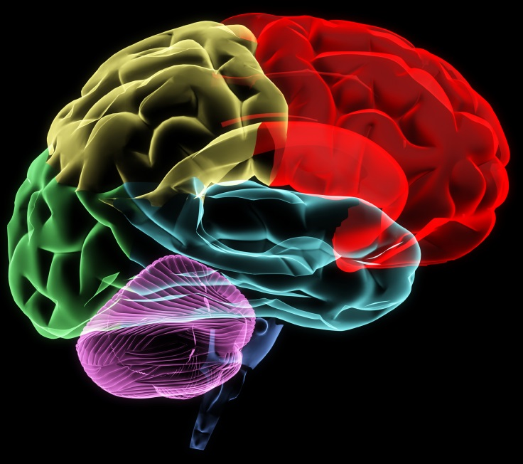 Colorful digital illustration showing the different regions and lobes of the brain
